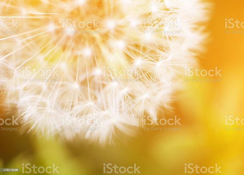 Dandelion macro abstract stock photo