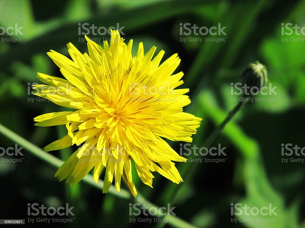 Dandelion macro photo stock photo