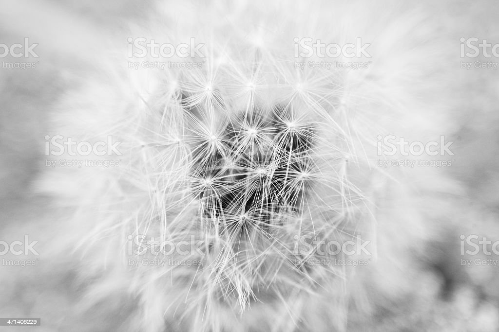 Dandelion Macro stock photo