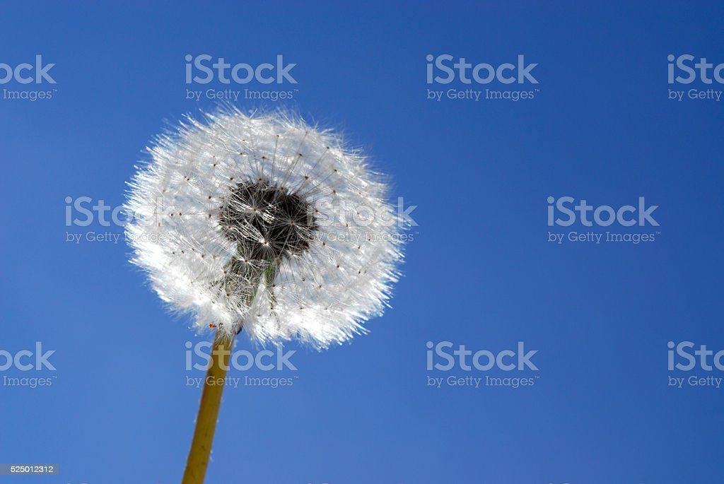 Dandelion- Macro stock photo