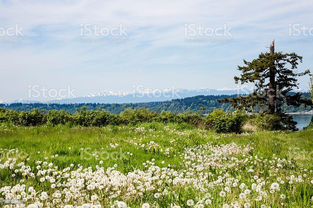 Dandelion Meadow and Cascade Mountains stock photo