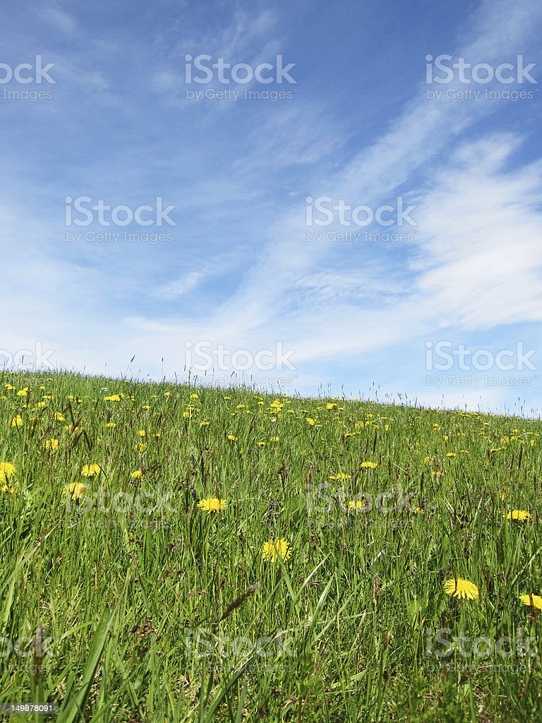 dandelion meadow in summer season with blue sky and clouds stock photo