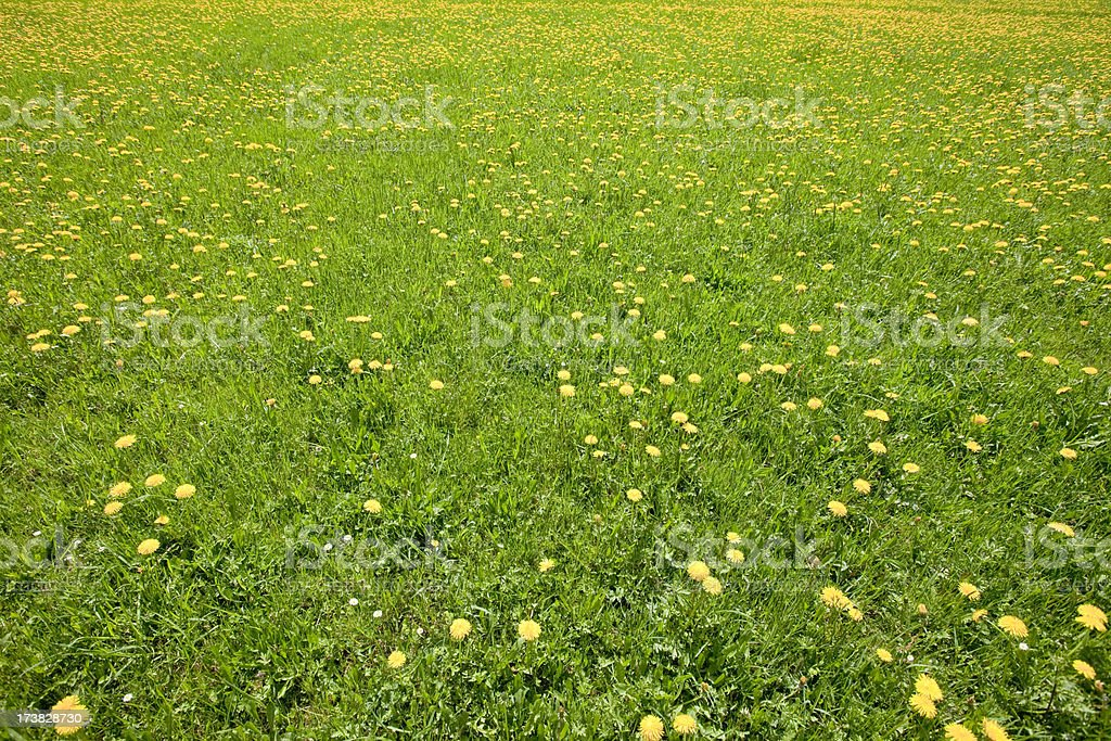 Dandelion meadow royalty-free stock photo