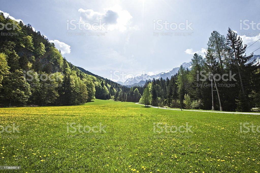 Dandelion meadow royalty-free stock photo