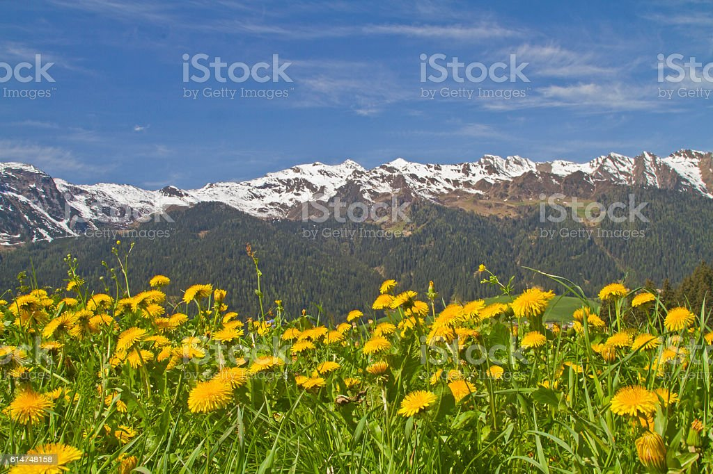 Dandelion meadows and  Sarntal Alps stock photo