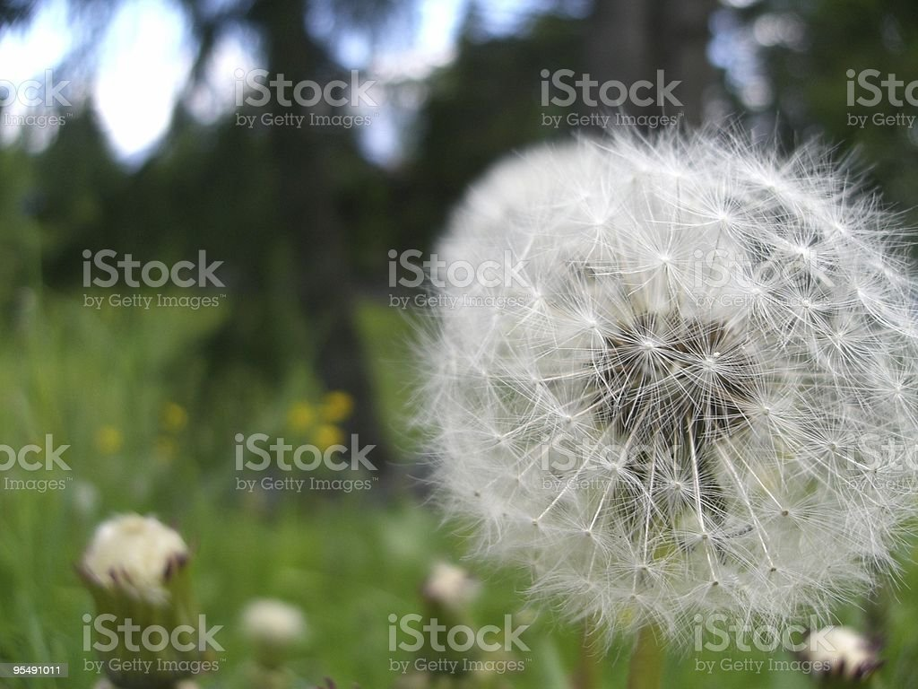 #6 dandelion, mountain pasture, meadow, alpine flora, closeup view stock photo