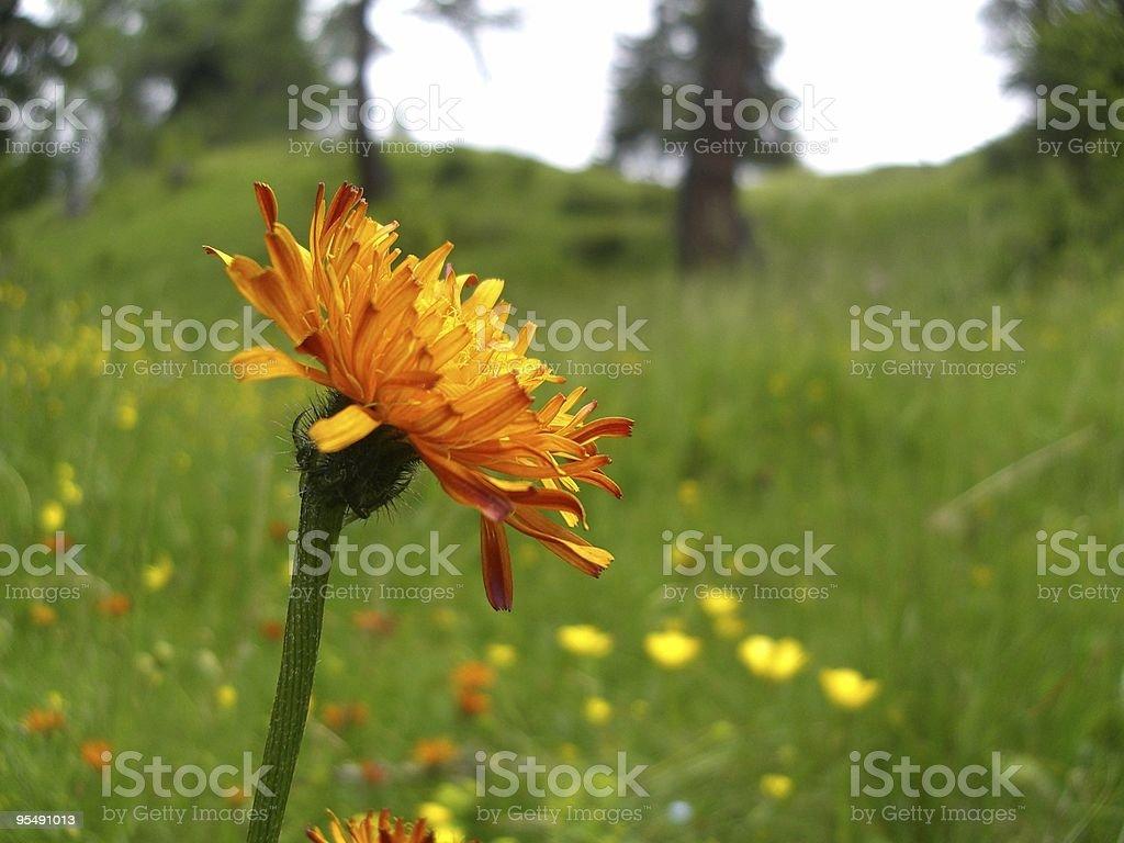 dandelion, mountain pasture, meadow, alpine flora, closeup view stock photo