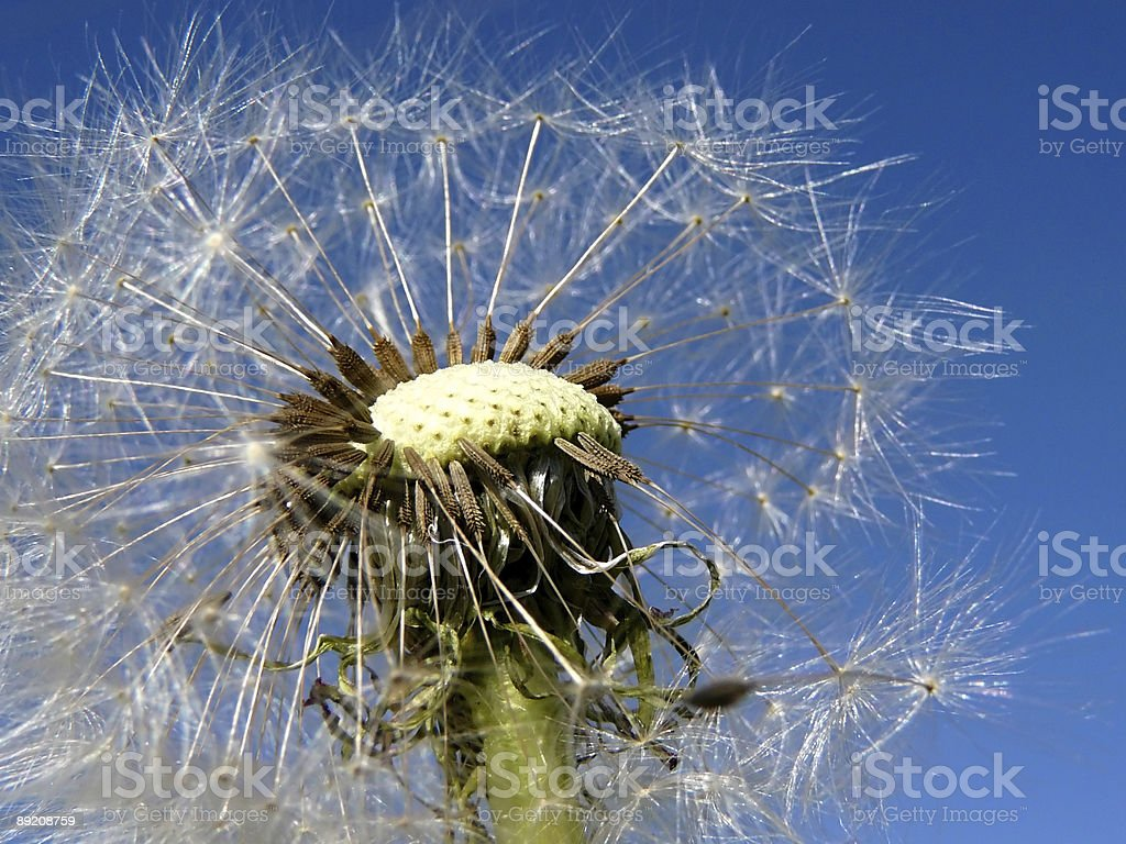 Dandelion on a background of the sky stock photo