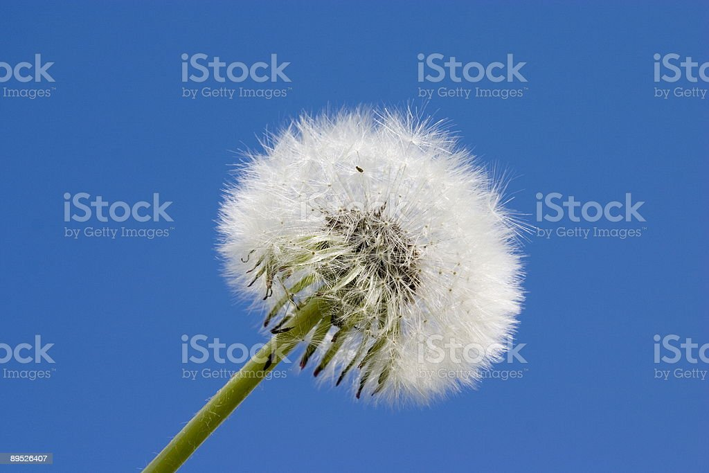dandelion on a blue stock photo