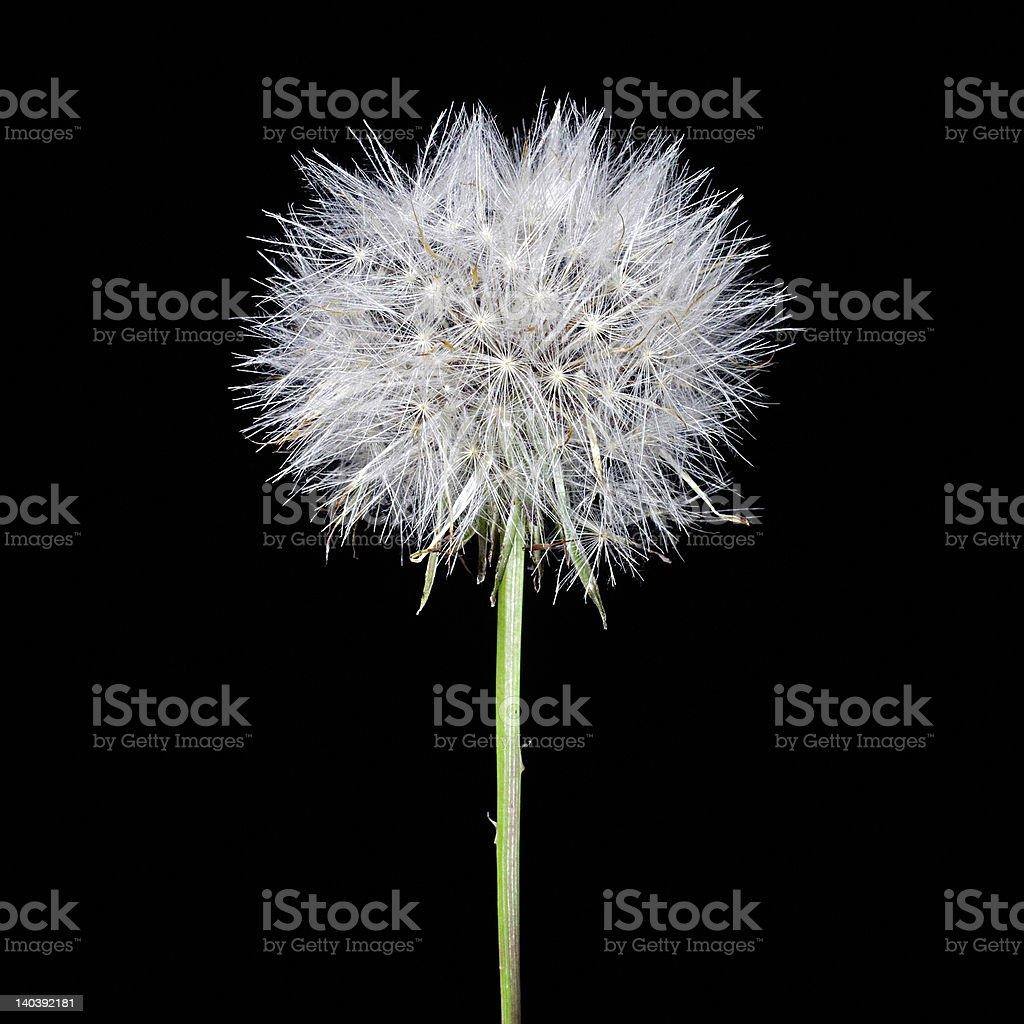 Dandelion on black background royalty-free stock photo