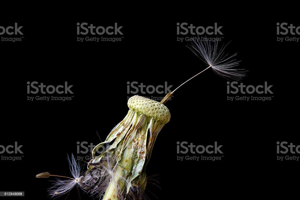 dandelion on black background stock photo