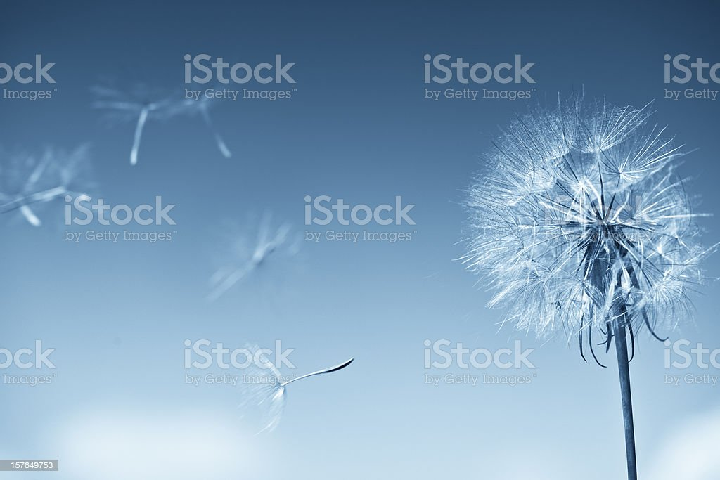 Dandelion on blue sky royalty-free stock photo