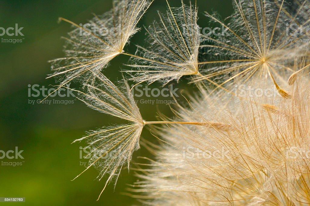 dandelion on field in spring stock photo
