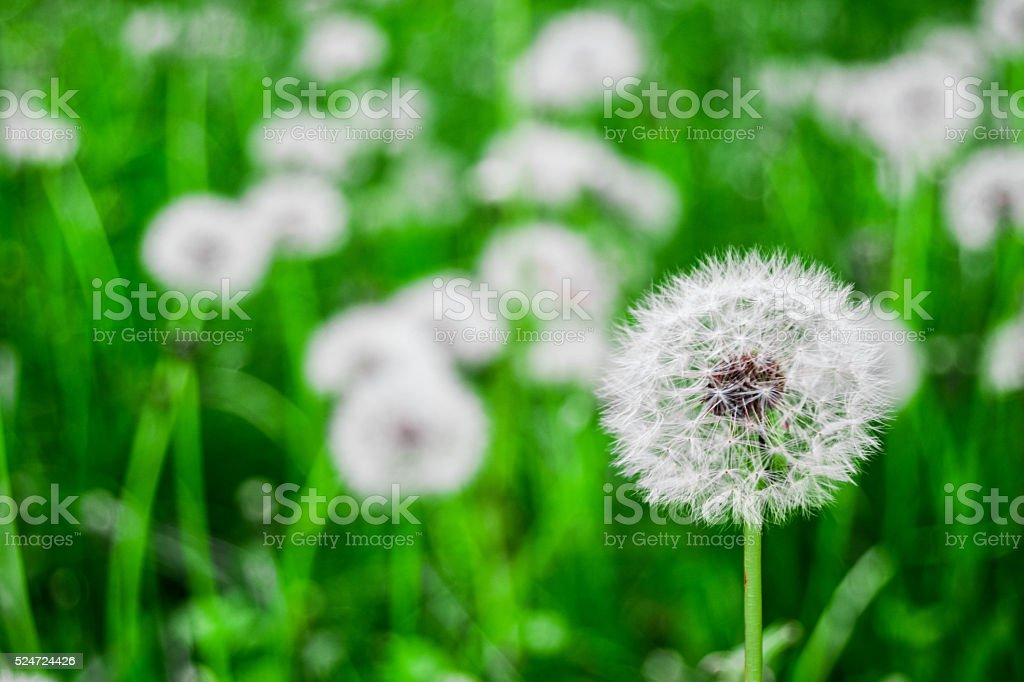Dandelion on green grass stock photo