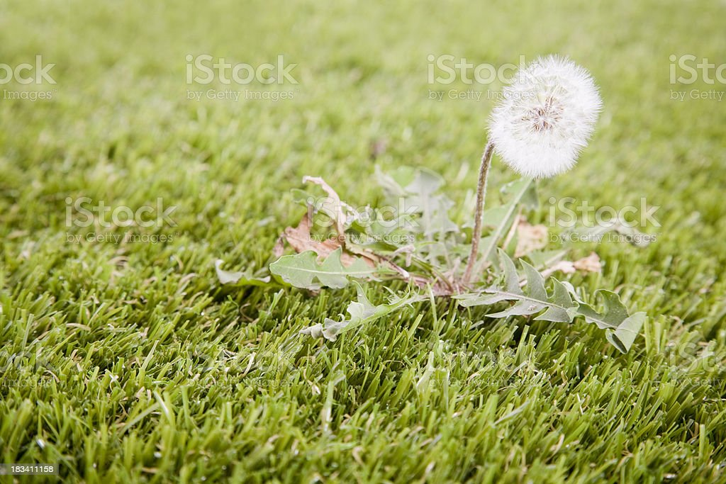 Dandelion on Lawn stock photo