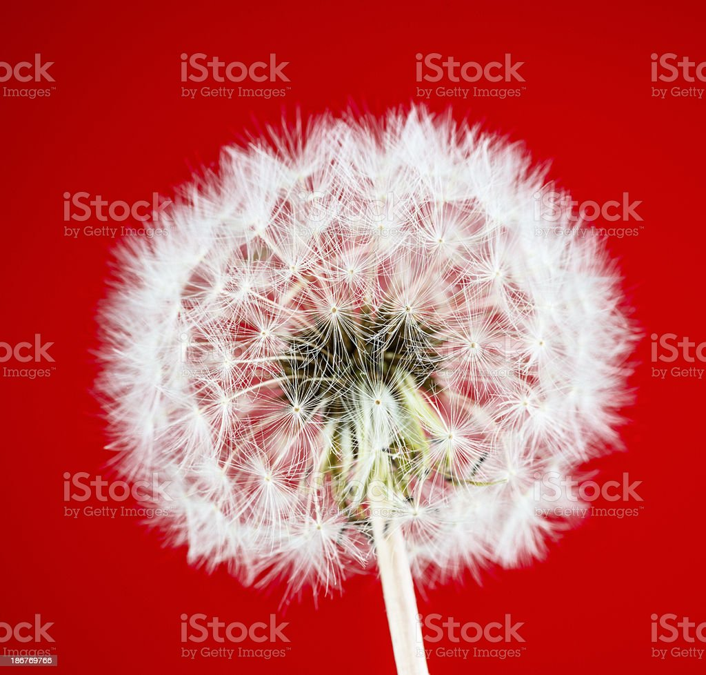 Dandelion on red background royalty-free stock photo