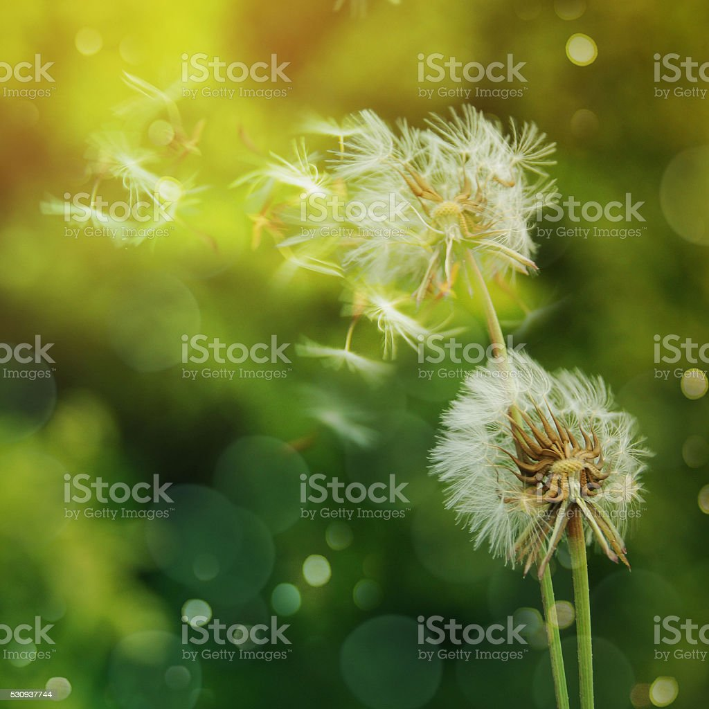 dandelion on the nature backround stock photo