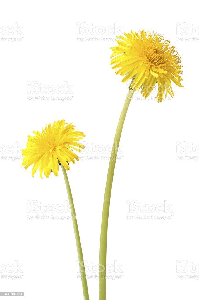 Dandelion on white background stock photo