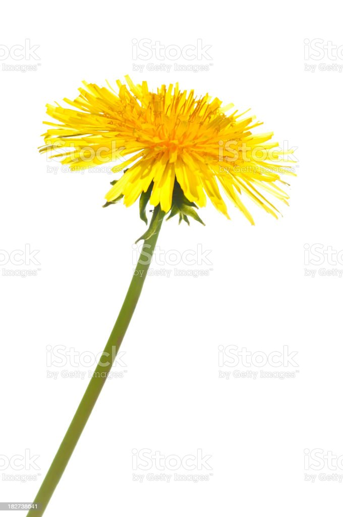 Dandelion on white stock photo