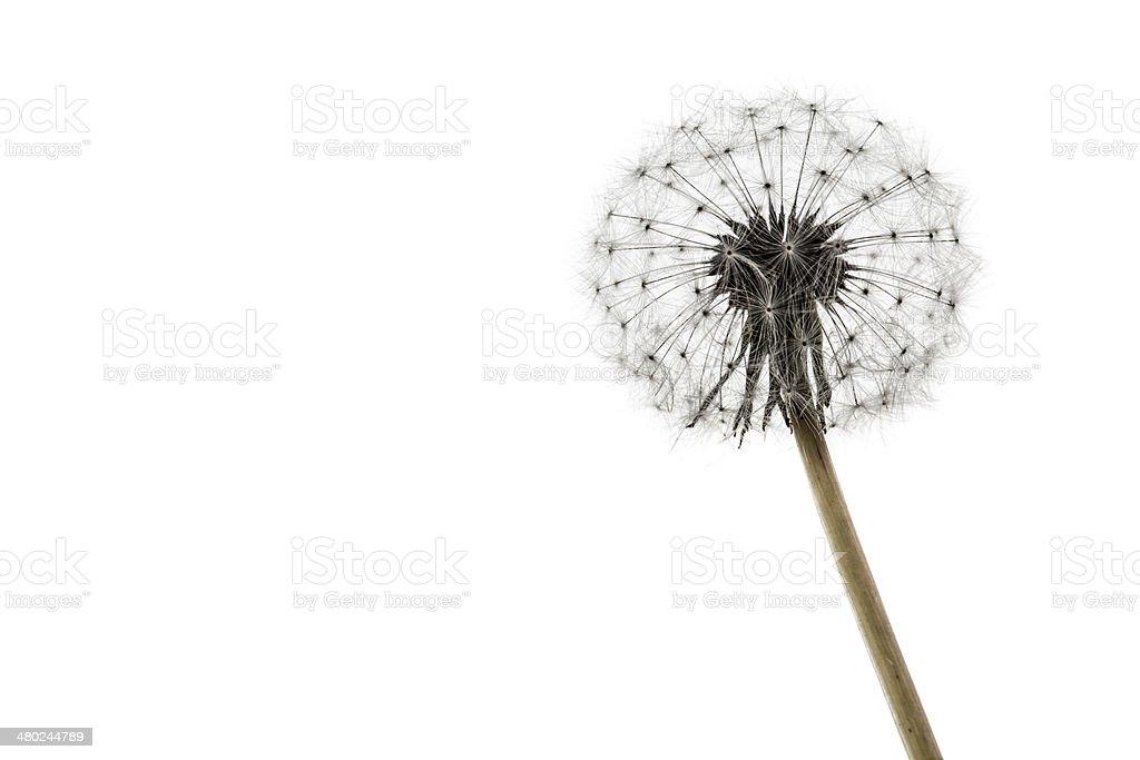 Dandelion on white royalty-free stock photo