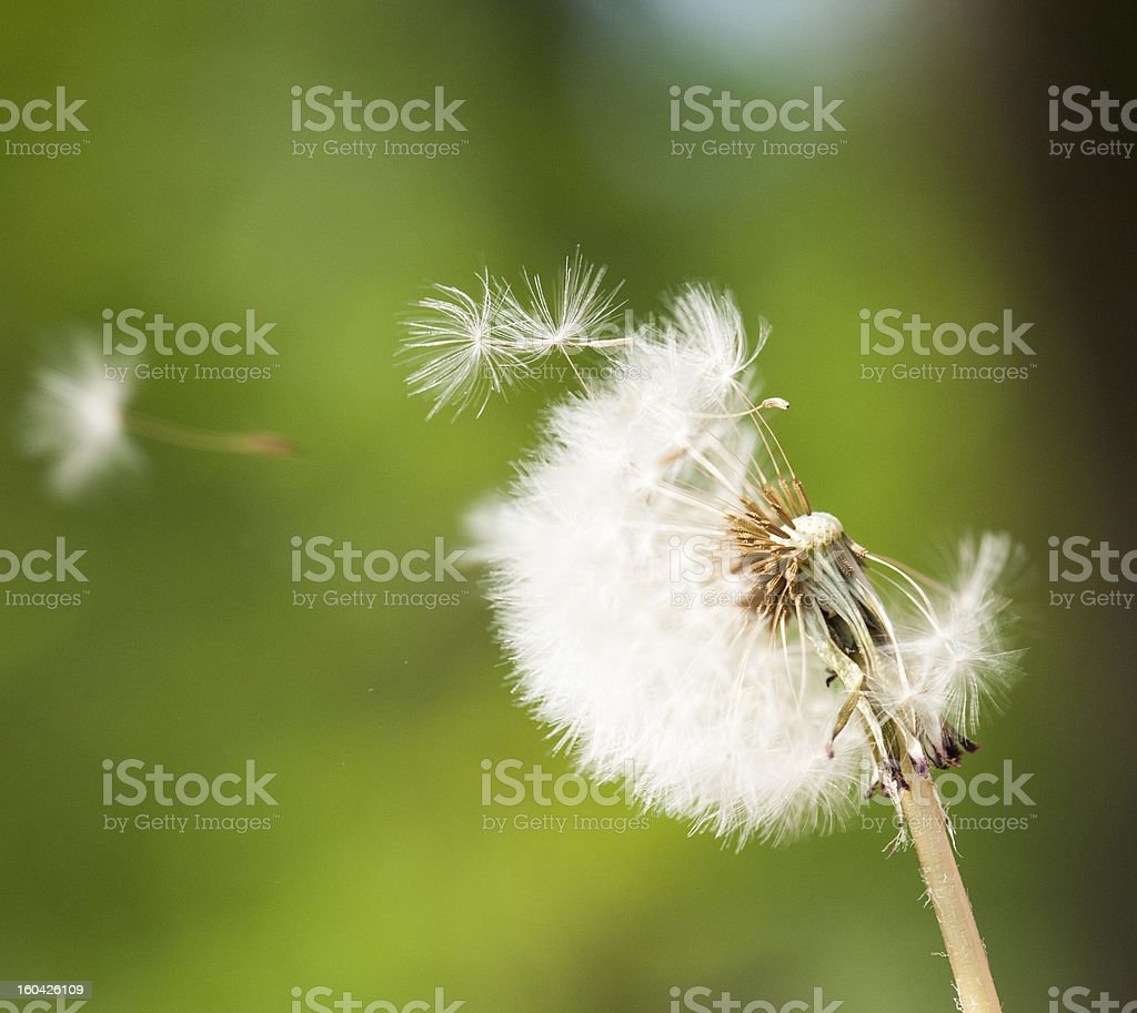 Dandelion on wind royalty-free stock photo