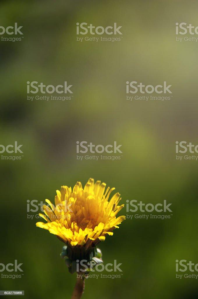 Dandelion opening its blossom - timelapse stock photo