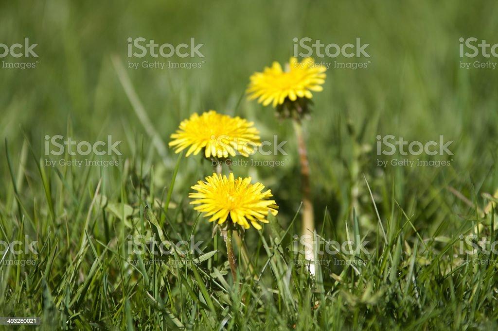 Dandelion or weed stock photo