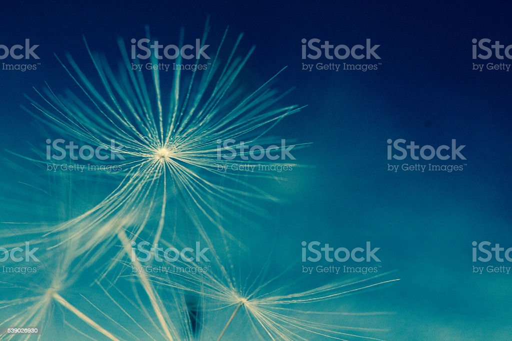 Dandelion parachutes by the wind on a white background stock photo