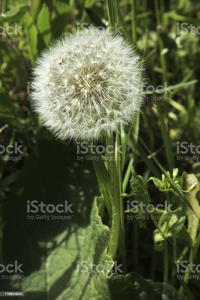 Dandelion royalty-free stock photo