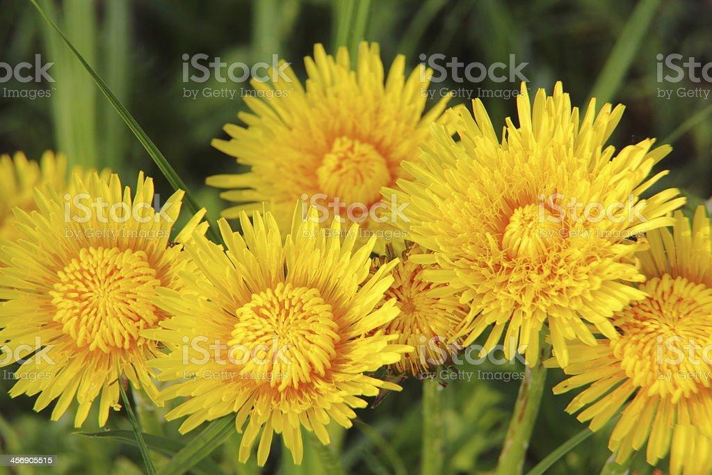 Dandelion. royalty-free stock photo