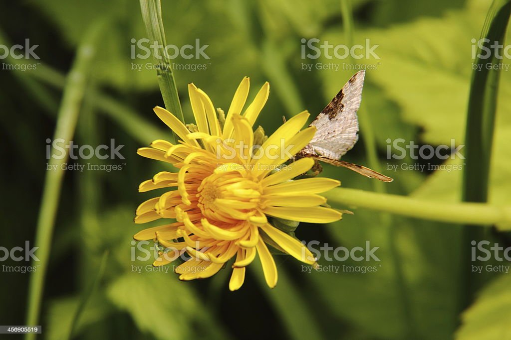 Dandelion. royalty-free stock photo