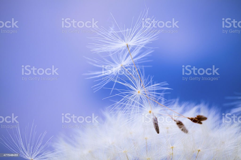 Dandelion. stock photo