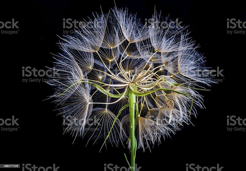 Dandelion (taraxacum) stock photo
