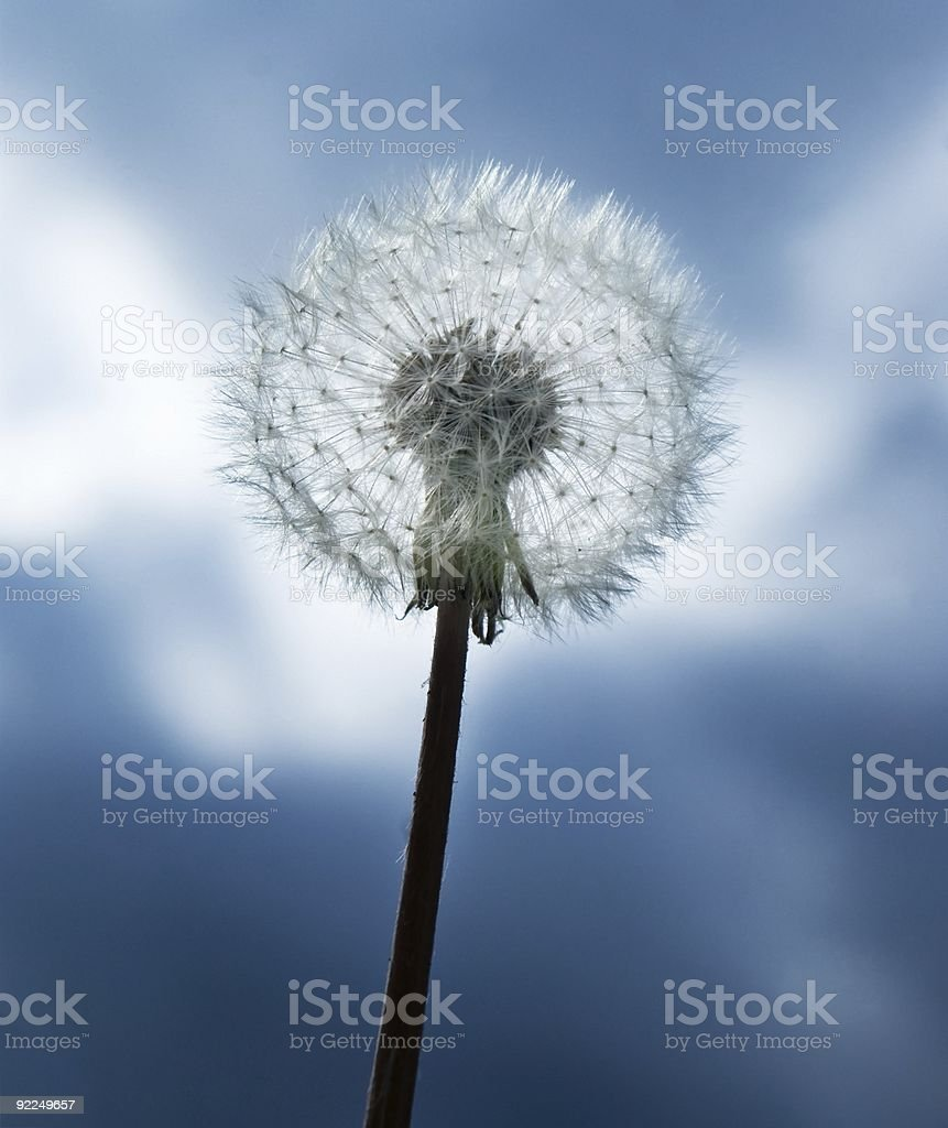 Dandelion royalty-free stock photo