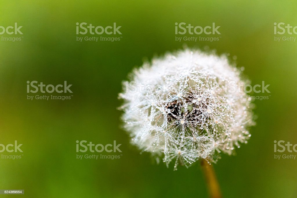 Dandelion plant with green background stock photo