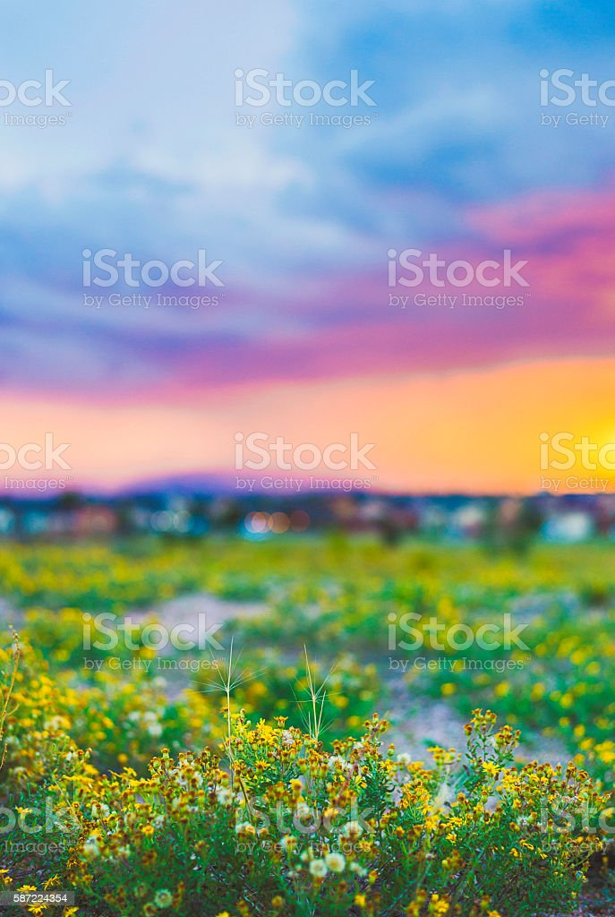 Dandelion plants growing wild in nature with sunset in background stock photo