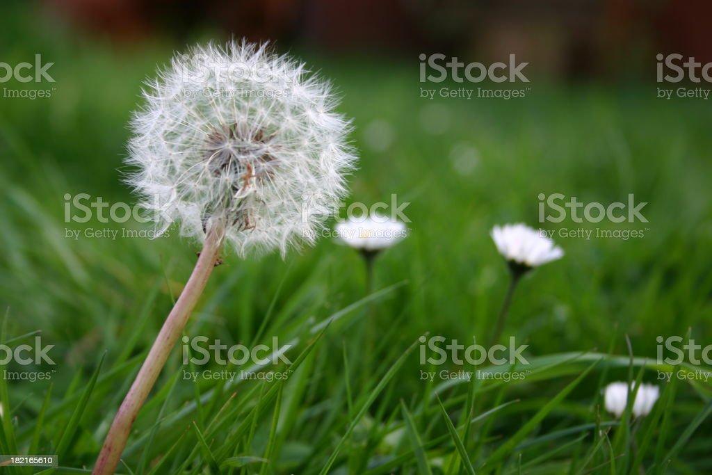 dandelion puff #1 royalty-free stock photo