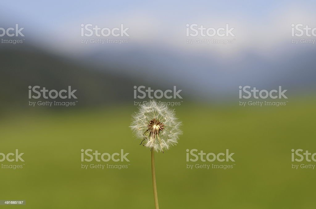 Dandelion Puff With Bokeh Background stock photo
