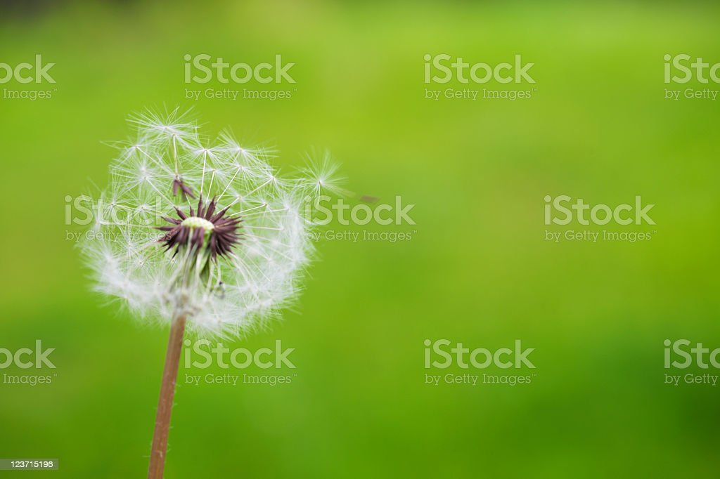 Dandelion Puffball and Green Background with One Seed Hanging On stock photo