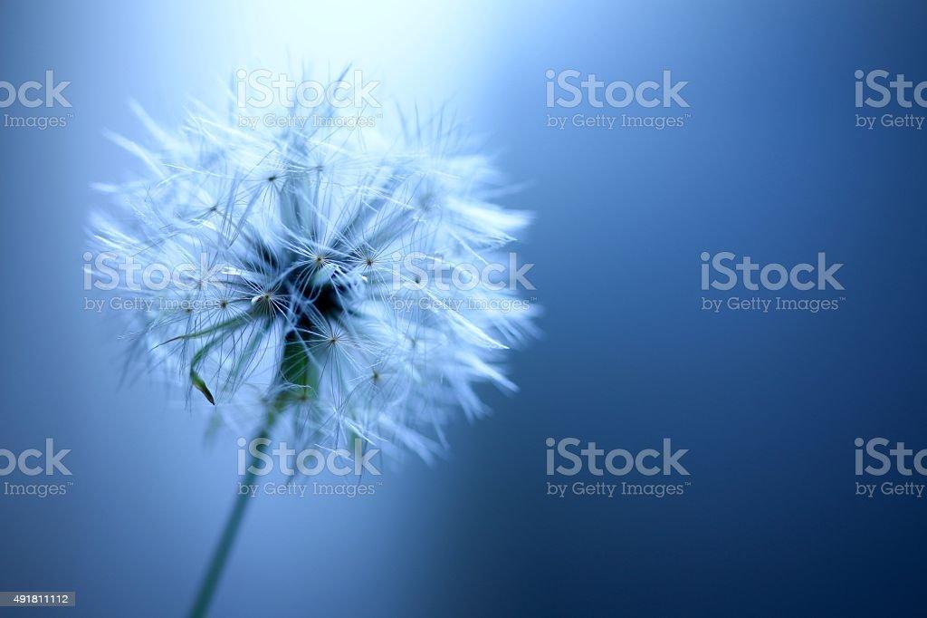 Dandelion Puffball stock photo