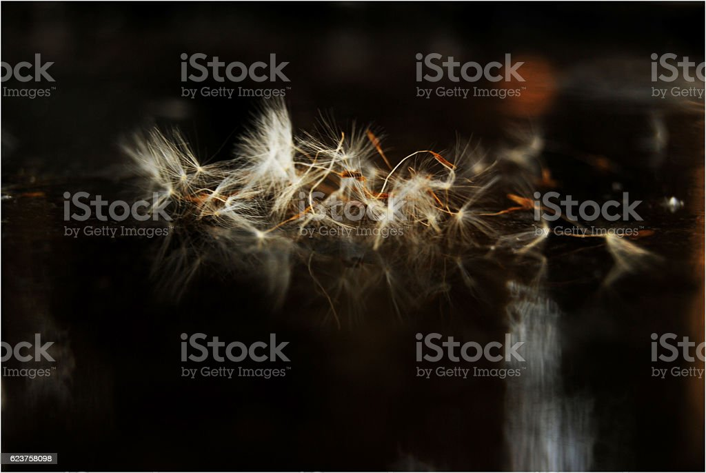 Dandelion reflection royalty-free stock photo