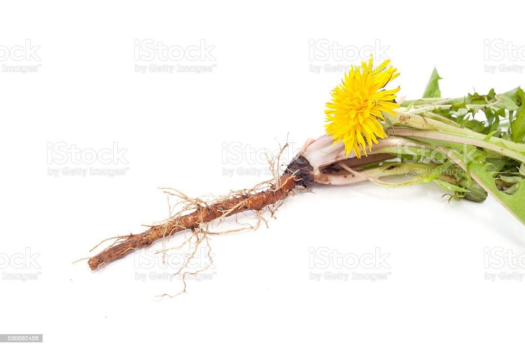 dandelion root is isolated stock photo