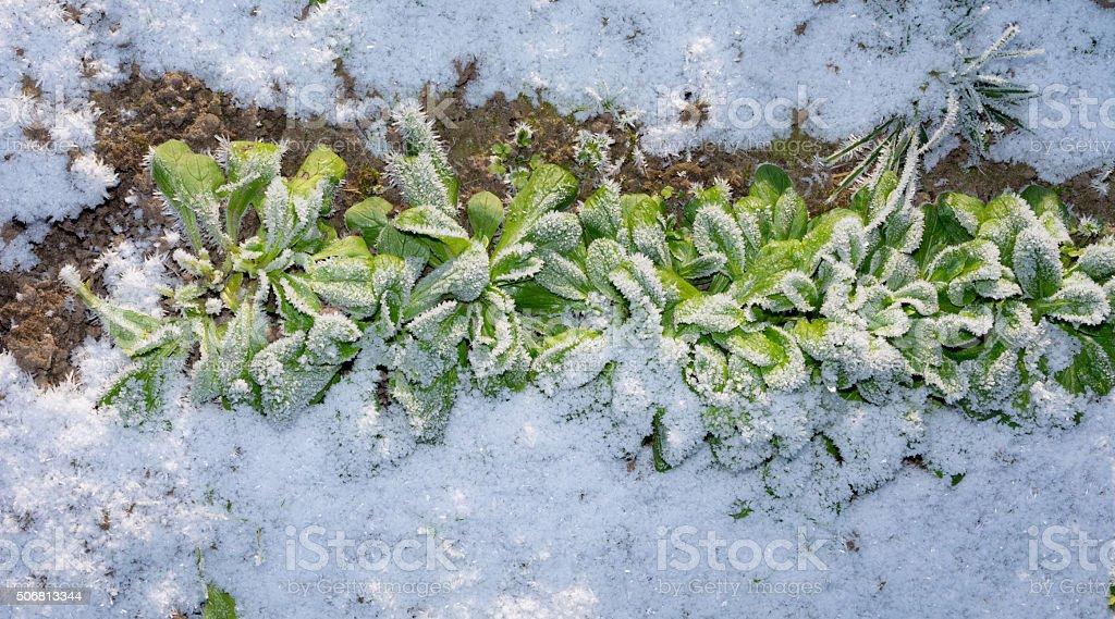 Dandelion salad in the snow stock photo