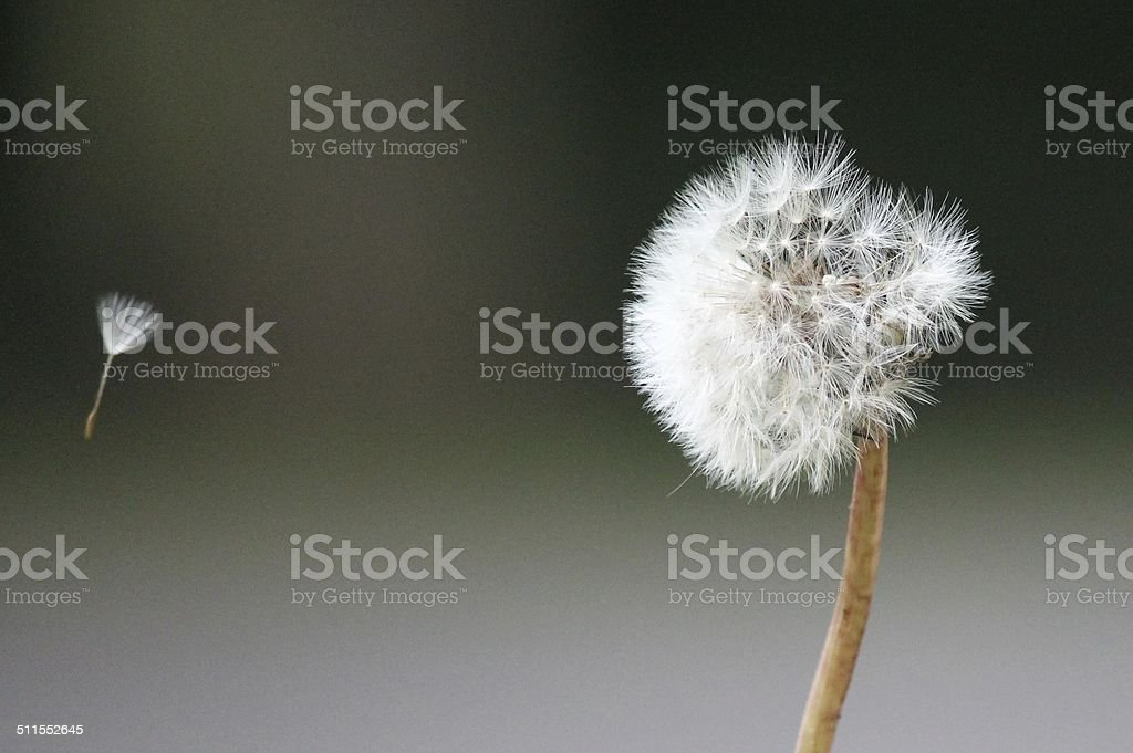 dandelion seed blowing in the breeze stock photo