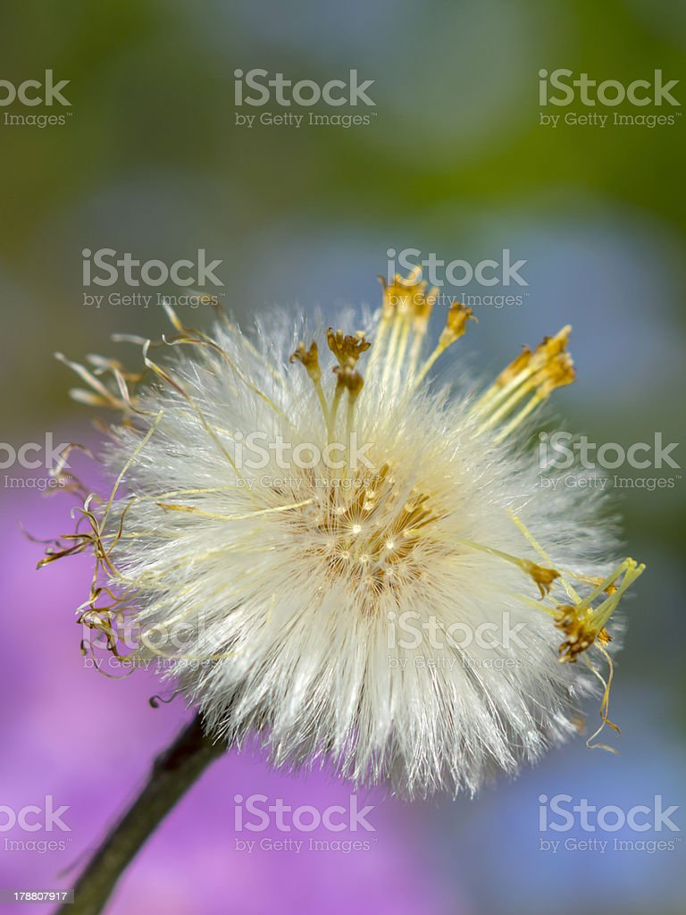 Dandelion Seed Clock royalty-free stock photo