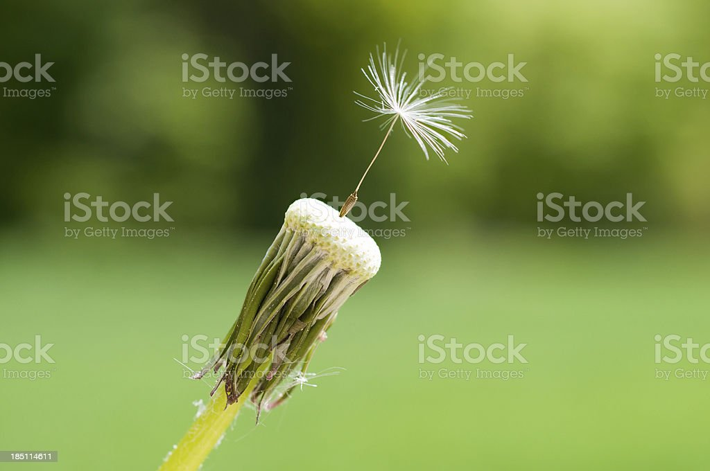 dandelion seed head against green background stock photo