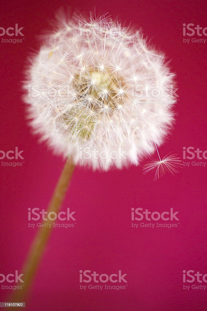 Dandelion seed head on red background royalty-free stock photo