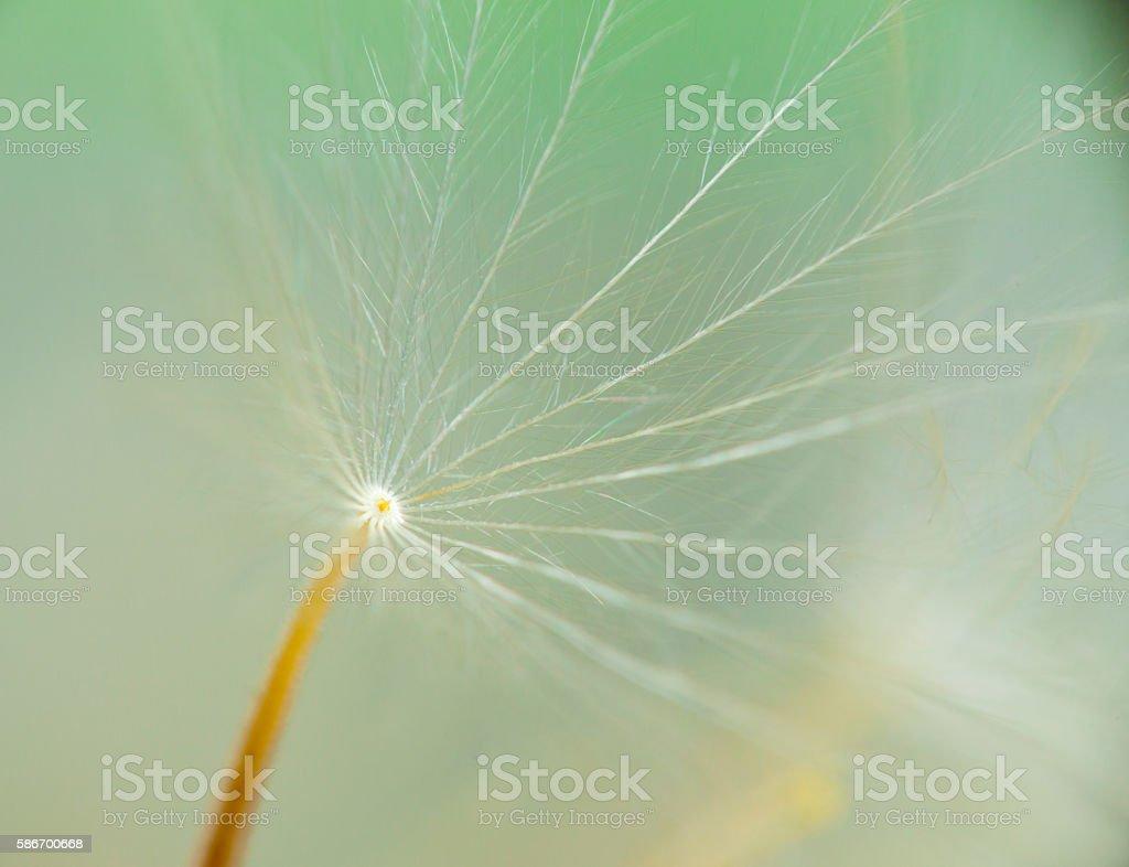 Dandelion seed macro stock photo