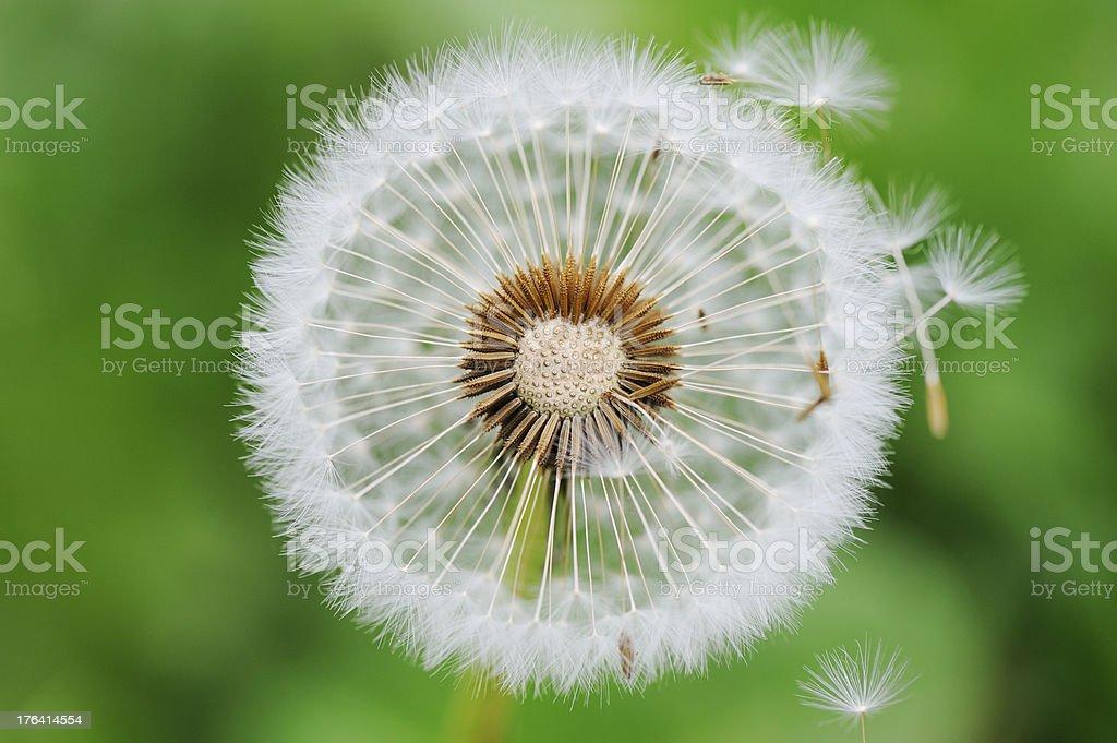 Dandelion seed  outdoors stock photo
