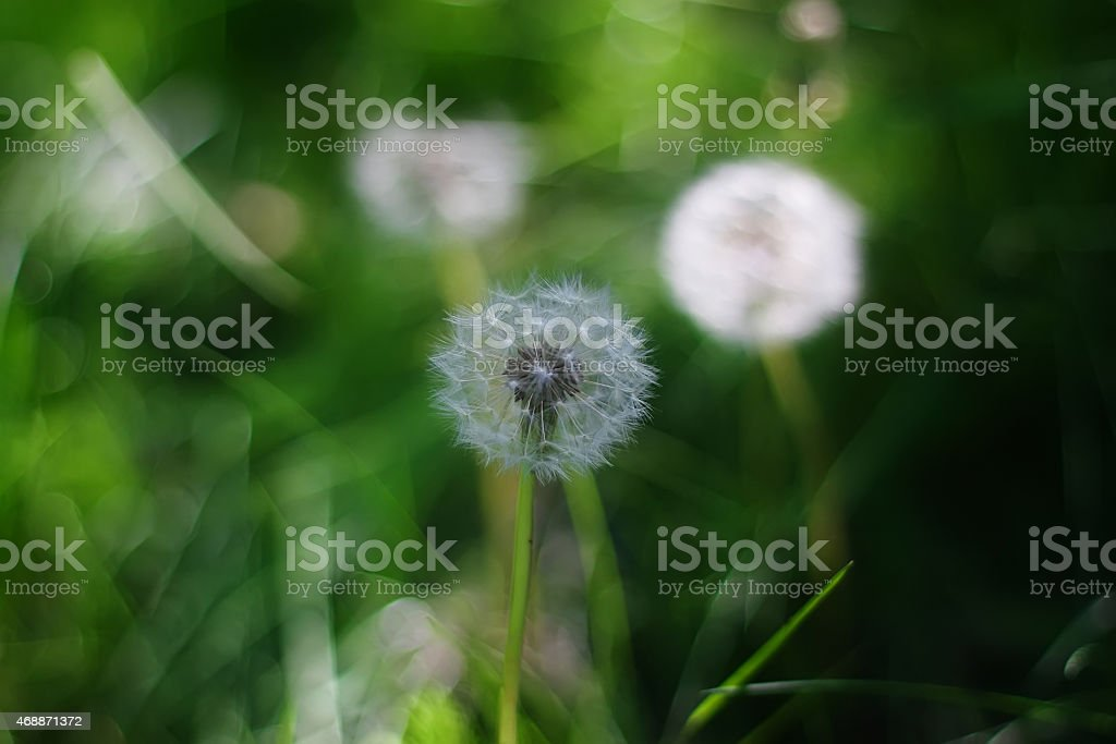 Dandelion seed outdoors stock photo